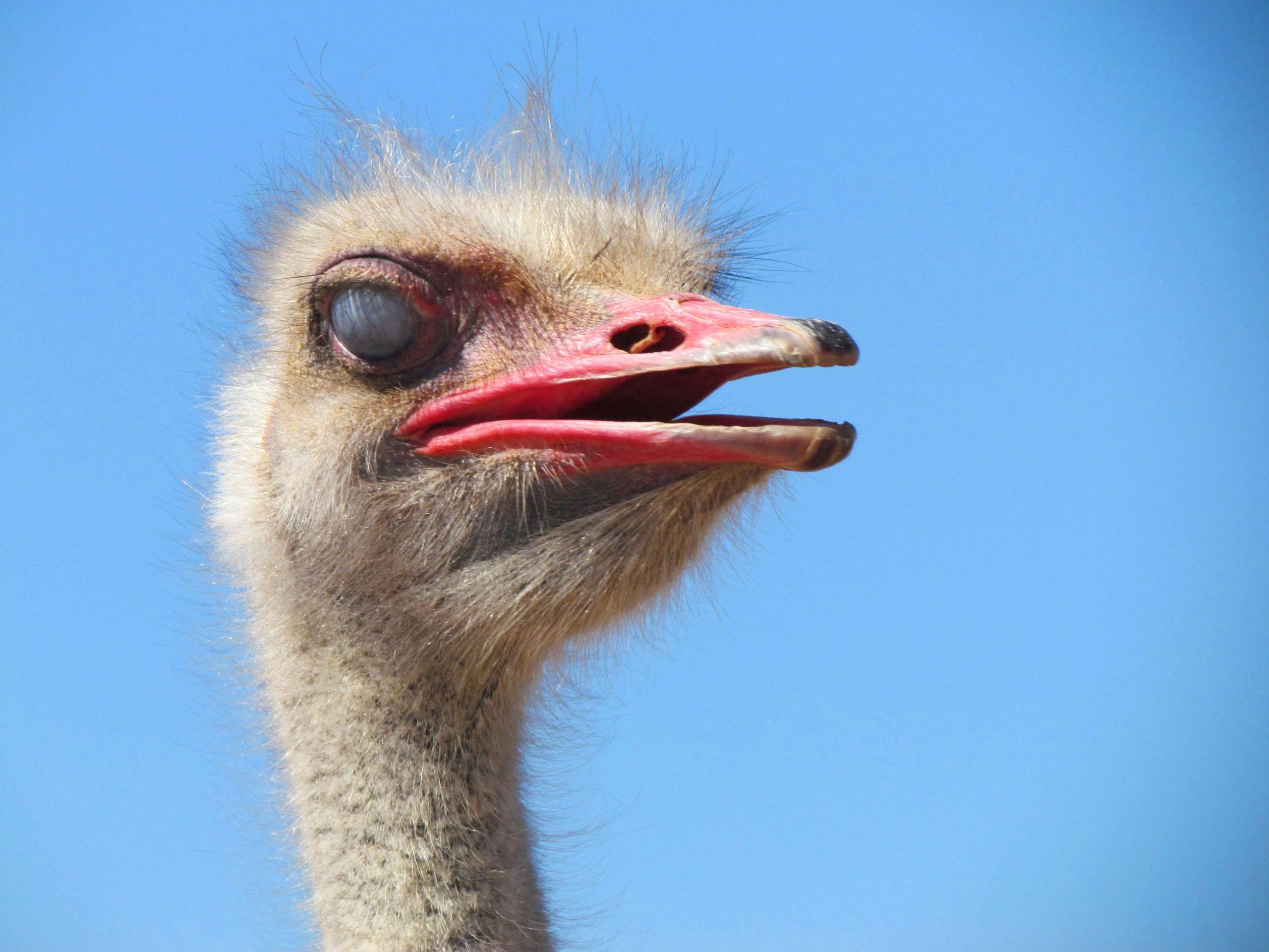 Oudtshoorn ostrich face close-up